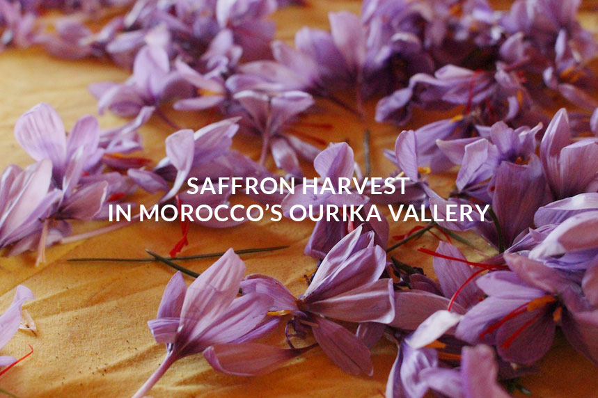 saffron-harvest-in-Morocco-ourika-valley