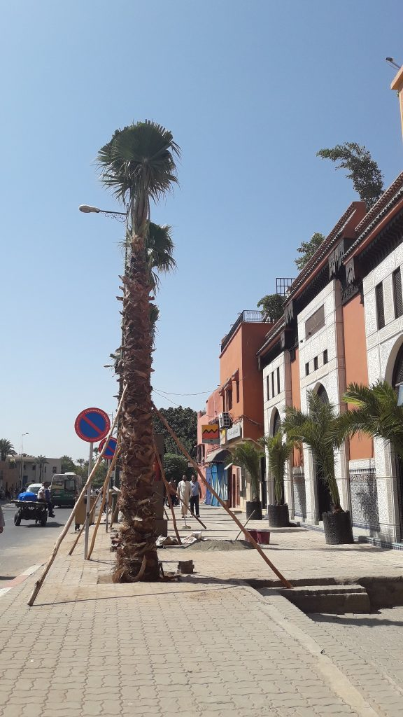 Palm trees planted in the medina